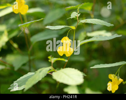 The delicate yellow flower of the Pale Jewelweed (Impatiens pallida) plant growing in the woods - Stock Image