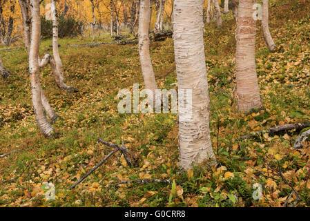 Bright colors of autumn birch forest in Vindelfjällen nature reserve, Kungsleden trail, Lapland, Sweden - Stock Image