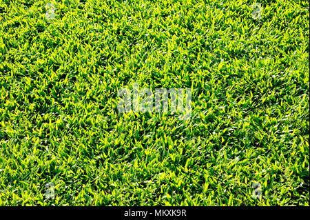 grass field floor texture - Stock Image