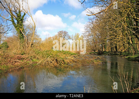 A view of a tree fallen into the River Bure during high winds at Great Hautbois, near Coltishall, Norfolk, England, United Kingdom, Europe. - Stock Image