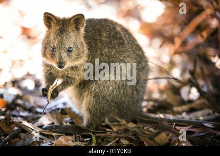 Quokka at Rottnest island, Western Australia - Stock Image