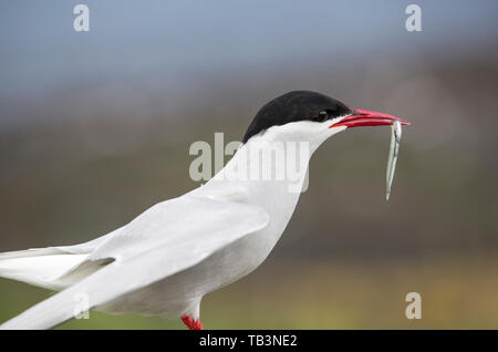 An Arctic Tern, Sterna paradisaea with a fish on the Farne Islands, Northumberland, UK. - Stock Image