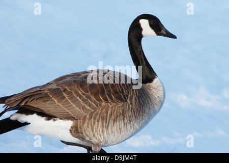 Canada Goose in winter - Minnesota, USA. - Stock Image
