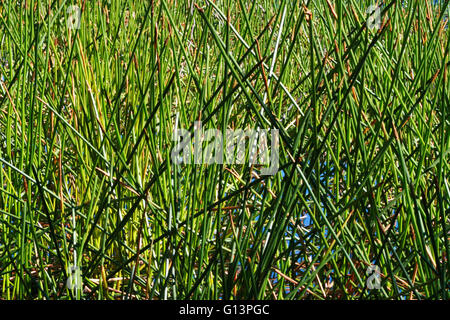 Close up of long, thin, green and brown reeds on edge of a lake. - Stock Image
