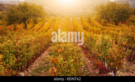 Golden light and autumn colours in a French vineyard in Provence in October. - Stock Image
