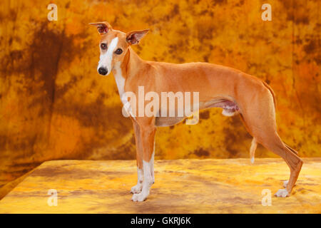 Whippet, male|Whippet, Ruede - Stock Image