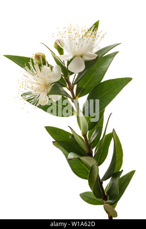 Myrtle branch with flowers isolated on white - Stock Image