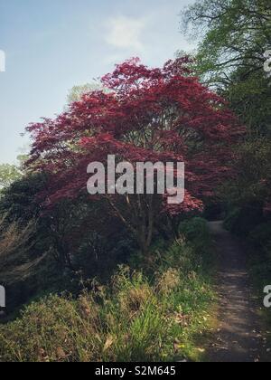 Woodland path leading off around beautiful Japanese maple tree. - Stock Image