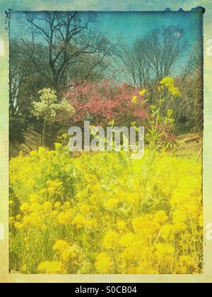Vibrant yellow field mustard, with white magnolia tree and pink Hana Peach tree against blue sky in the background, - Stock Image