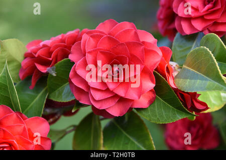 Camellia blooms (family Theaceae) - Stock Image