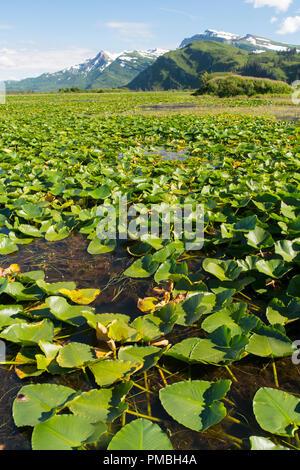 Lily pond, Lake Clark National Park, Alaska. - Stock Image
