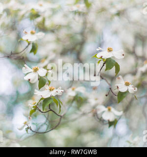 White Dogwood Tree Blossoms, Shallow Depth of Field - Stock Image