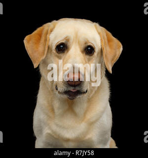 Sad Portrait of Labrador retriever dog Staring with unhappy eyes on isolated black background, front view - Stock Image