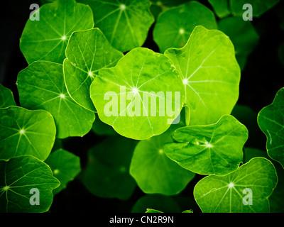 Nasturtium leaves, organically home-grown for salads. - Stock Image