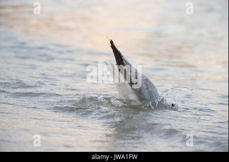 Audouin's Gull, Larus audouinii, catching fish in the shallows, Ibiza, Balearic Islands, Mediterranean Sea - Stock Image