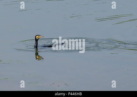 Cormorant wild water bird reflection in still lake water - Stock Image
