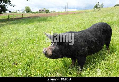 Berkshire pig a rare breed in the UK is mainly black with white markings on face and feet and has upright ears - Stock Image