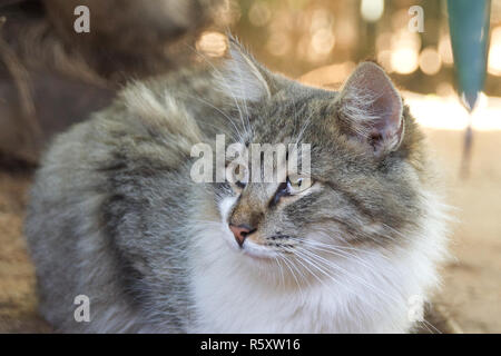 Long haired tabby cat - Stock Image