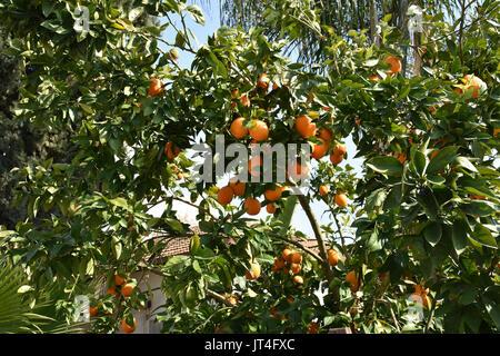 Orange tree in israel - Stock Image