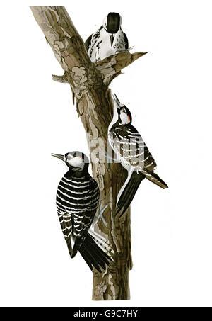 Red-cockaded Woodpecker, Picoides borealis, birds, 1827 - 1838 - Stock Image