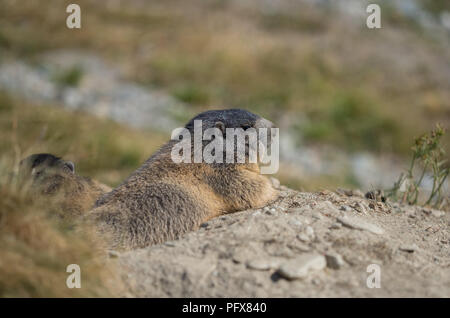 Marmot in Saas-Fee - Stock Image