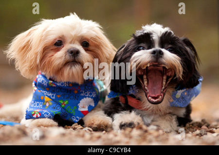 A pair of Shih-Tzu puppies laying next to each other. - Stock Image