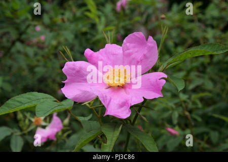 A swamp rose blossom, - Stock Image
