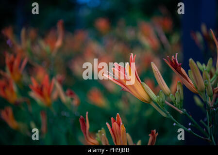 Orange Lily Petals in City Garden with Selective Focus - Stock Image