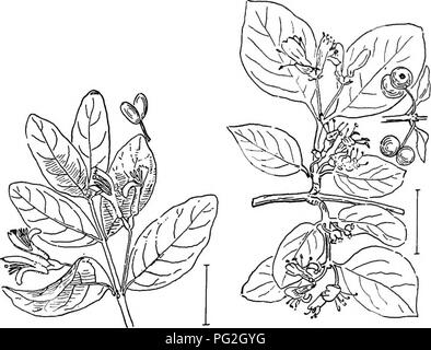 . Ornamental shrubs of the United States (hardy, cultivated). Shrubs. FiQ. 379. —Early Sweet Honey- suckle. Fig. 380. — Alpine Honeysuckle.. Fig, 381. — Swamp Fly Honeysuckle. Fig. 382. — European Fly Honey- suckle.. Please note that these images are extracted from scanned page images that may have been digitally enhanced for readability - coloration and appearance of these illustrations may not perfectly resemble the original work.. Apgar, A. C. (Austin Craig), 1838-1908; Draycott, Ada (Apgar). New York, Cincinnati [etc] American Book Company - Stock Image