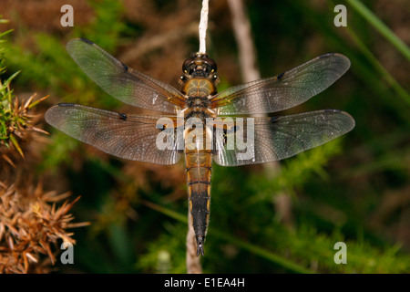 Four-spotted chaser dragonfly (Libellula quadrimaculata), UK. - Stock Image