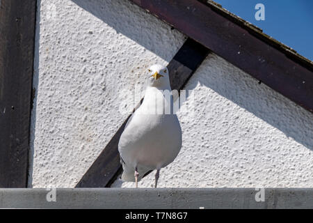 Seagull perched on the roof of a house - Stock Image