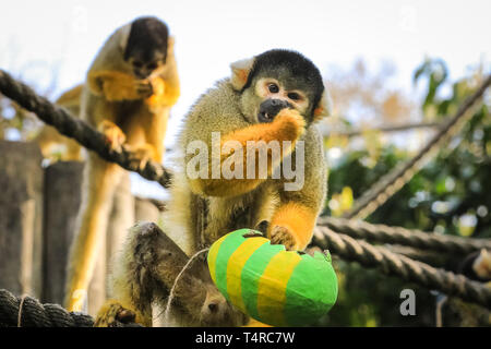 ZSL London Zoo, London, UK. 18th Apr, 2019. The resident male gets a little greedy with his treats. troupe of black-capped squirrel monkeys (Saimiri boliviensis) use their acrobatic skills to get at the colourful Easter eggs filled with tasty mealworms hanging from their treetop home. ZSL keepers have organised an Easter hunt with surprise treats for the animals. Credit: Imageplotter/Alamy Live News - Stock Image