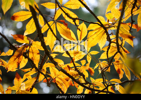 autumn red buckeye leaves decaying - golden leaf canopy Jane Ann Butler Photography JABP1823 - Stock Image