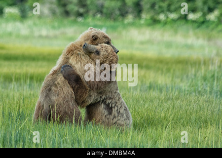Grizzly Bear Yearling Cubs, Alaskan Brown Bears, Ursus arctos, hugging during a bout of play fighting, Lake Clark National Park, Alaska, USA - Stock Image