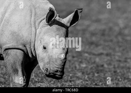 Detailed, landscape, close-up of cute, baby white rhinoceros (Ceratotherium simum) standing isolated, outdoors in sun at UK wildlife park. Copy space. - Stock Image