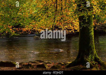 Tree in autumn colours at Betws-y-Coed, Snowdonia National Park, North Wales - Stock Image
