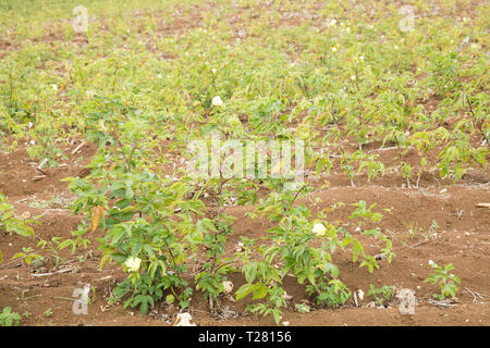 Cotton Plantation in Barbados, The Caribbean - Stock Image