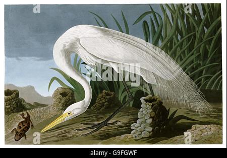 Great Egret, Casmerodius albus, birds, 1827 - 1838 - Stock Image