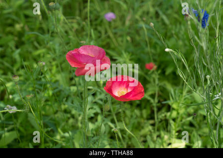 Poppies blooming on Governors Island in New York harbor in the oldest part of Governors Island, which is under the jurisdiction of the National Park S - Stock Image