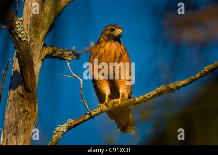 Young Red Shouldered Hawk - Stock Image