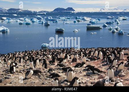 Adelie Penguin. Devil Island, Antarctica. - Stock Image