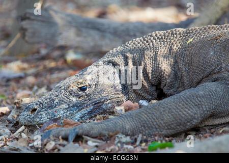 Komodo dragon, Varanus komodensis, Komodowaran, Komodo National Park, Indonesia, adult resting in the forest - Stock Image