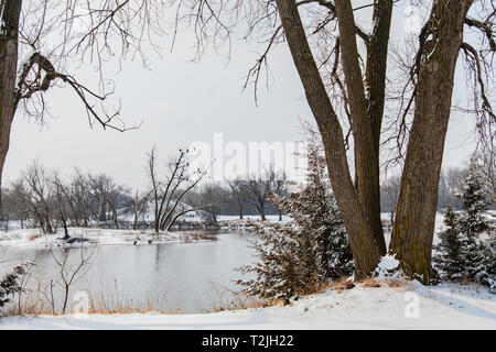 Double-crested cormorants, Phalcrocorax, perch in a tree across a lake in Sedgwick county park in Wichita, Kansas, USA. - Stock Image