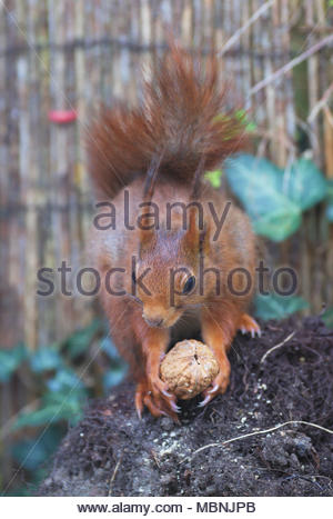 Eurasian red squirrel (Sciurus vulgaris)  eating a walnut - Stock Image