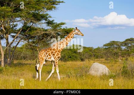 Giraffe at Queen Elizabeth National Park, Uganda, East Africa - Stock Image