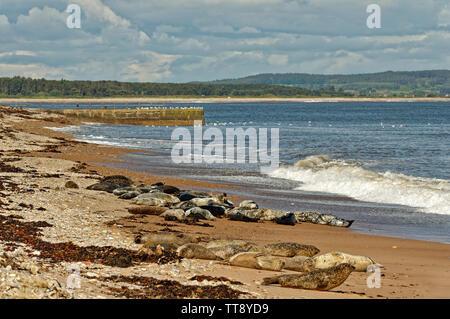 PORTGORDON BEACH MORAY SCOTLAND COMMON SEALS HAULED UP ON THE SAND AND WAVES CRASHING ONTO THE BEACH - Stock Image