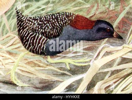 Laterallus jamaicensisAAP026CB - Stock Image