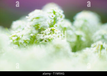 Close up delicate white flowers - Stock Image
