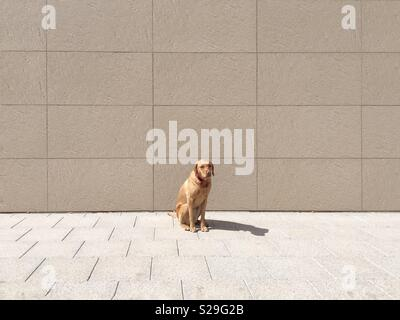 An abandoned Labrador retriever dog sitting alone in an urban environment with copy space - Stock Image