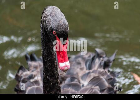Australian Male Black Swan on a fresh water lake - Stock Image